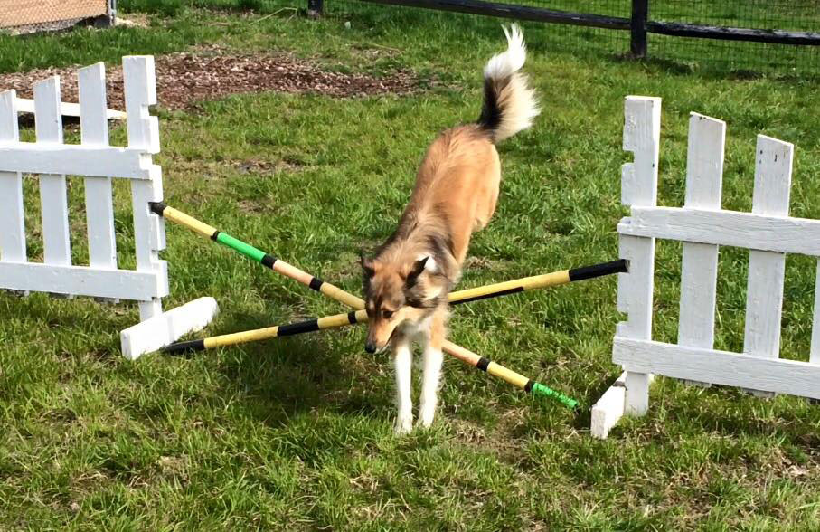 Mollys Country Kennels Agility Training 4